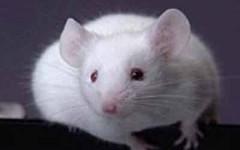 kahve falında fare görmek
